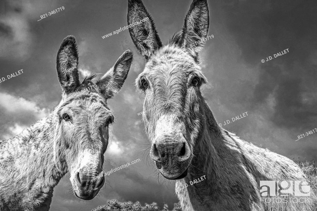Stock Photo: France, Aquitaine, Dordogne, donkeys in a meadow by the ruins of the castle of Gurson, at Carsac de Gurson.