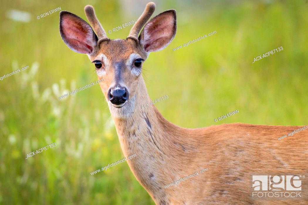 Stock Photo: Spotted White-tailed Deer (Odocoileus virginianus) fawn, Manitoulin Island, Ontario, Canada.
