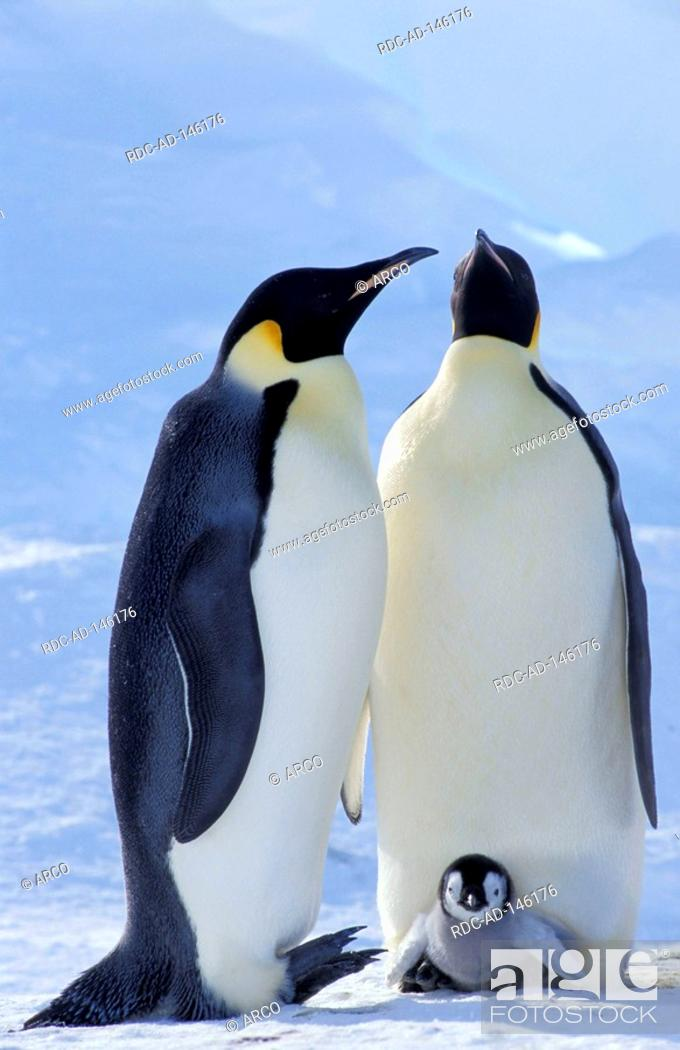 Stock Photo: Emperor Penguins pair with chick Dawson-Lambton Glacier Antartica Aptenodytes forsteri.