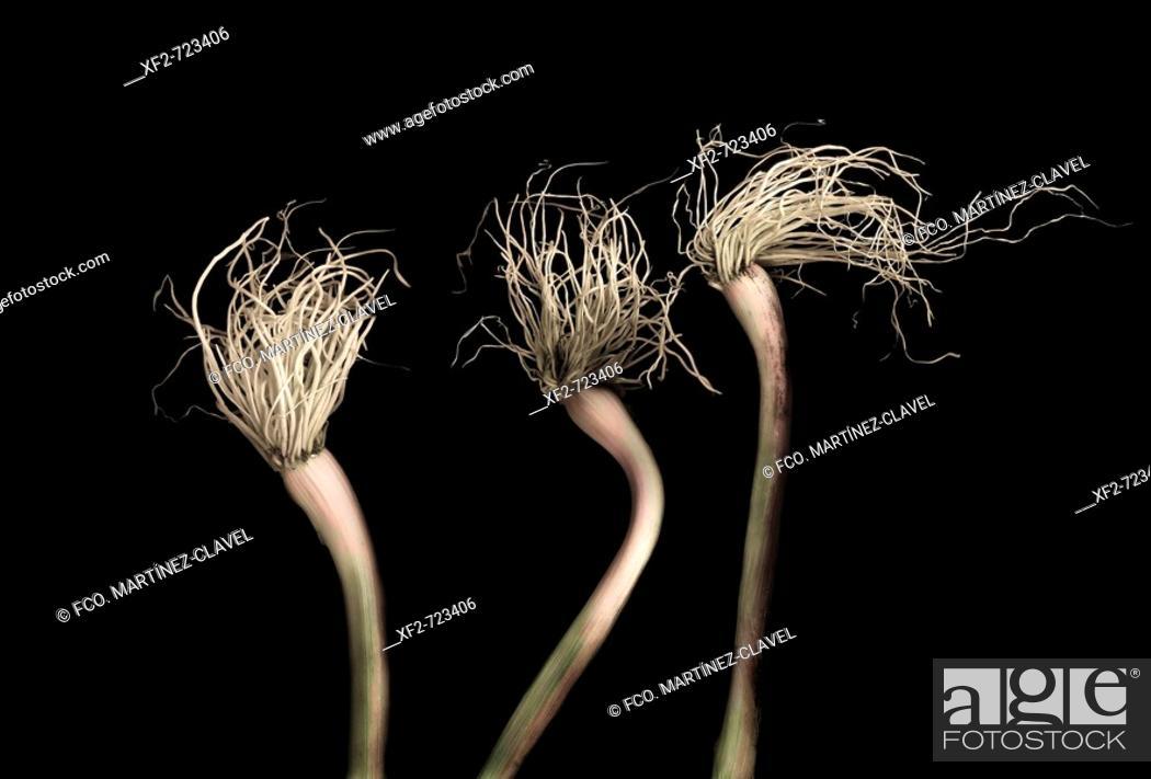 Stock Photo: Spring garlic.