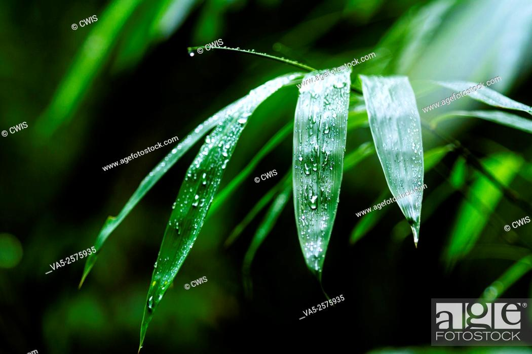 Stock Photo: Yibin, Sichuan province, China - Close up of fresh bamboo leaves at Shunan Bamboo Sea national park.