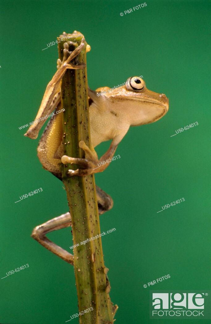 Stock Photo: Tree frog, Hyla semilineata, Hylidae, Anura, Brazil.