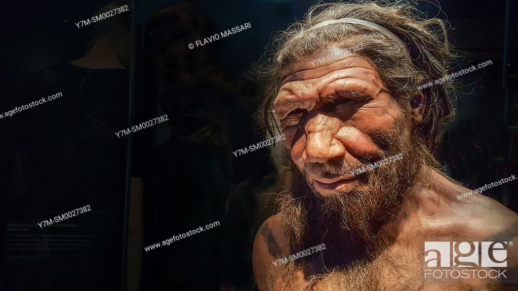 Stock Photo: Human evolution gallery . Model of male Homo neanderthalensis, Natural History Museum, London, England, UK, This image could have imperfections as itâ.