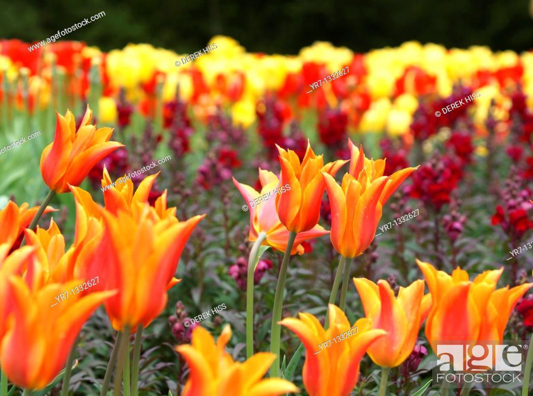 Stock Photo: Ballerina Lily Tulips.