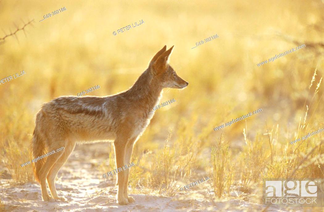 Stock Photo: Blackbaked jackal (Canis mesomelas). Etosha National Park. Namibia.