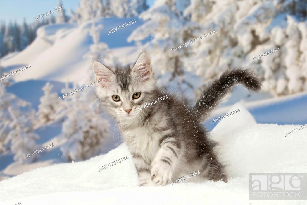 Stock Photo: Maine Coon kitten outdoors in winter.