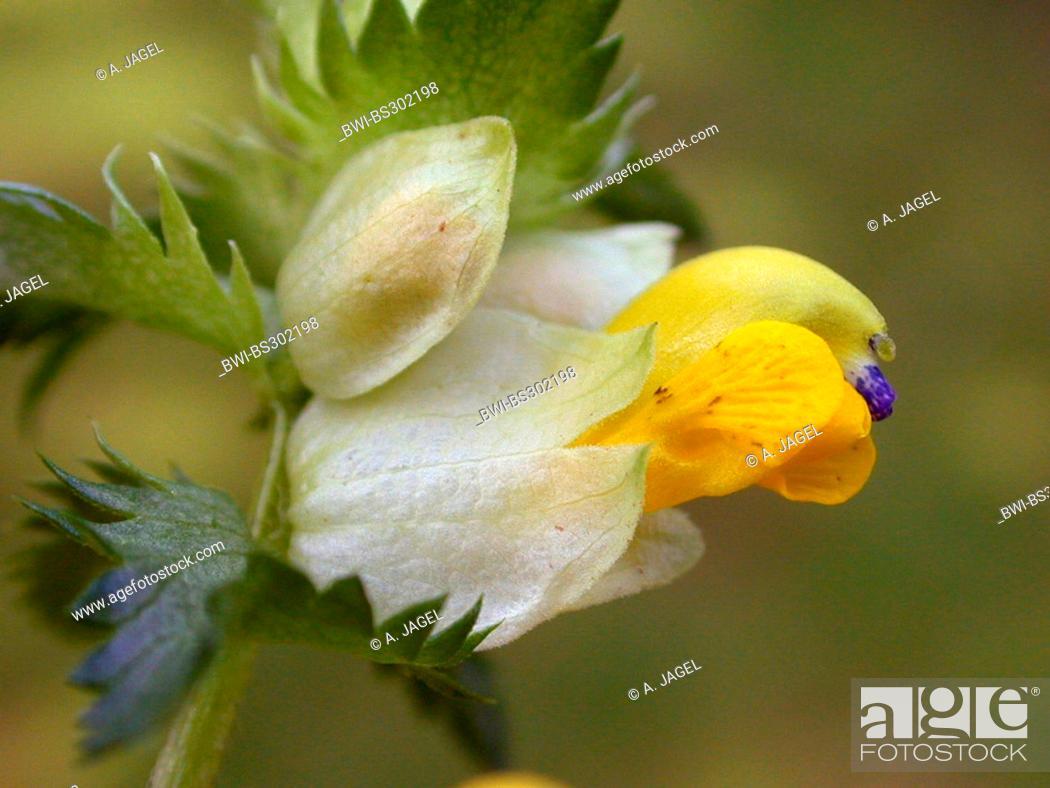 Greater yellow rattle rhinanthus angustifolius rhinanthus stock photo greater yellow rattle rhinanthus angustifolius rhinanthus serotinus flower mightylinksfo