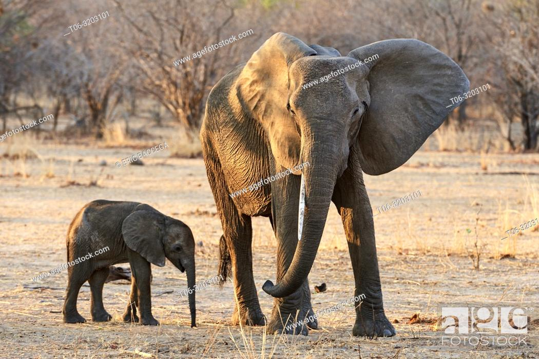 Stock Photo: African elephant, young calf standing next to its mother (Loxodonta africana), South Luangwa National Park, Zambia.