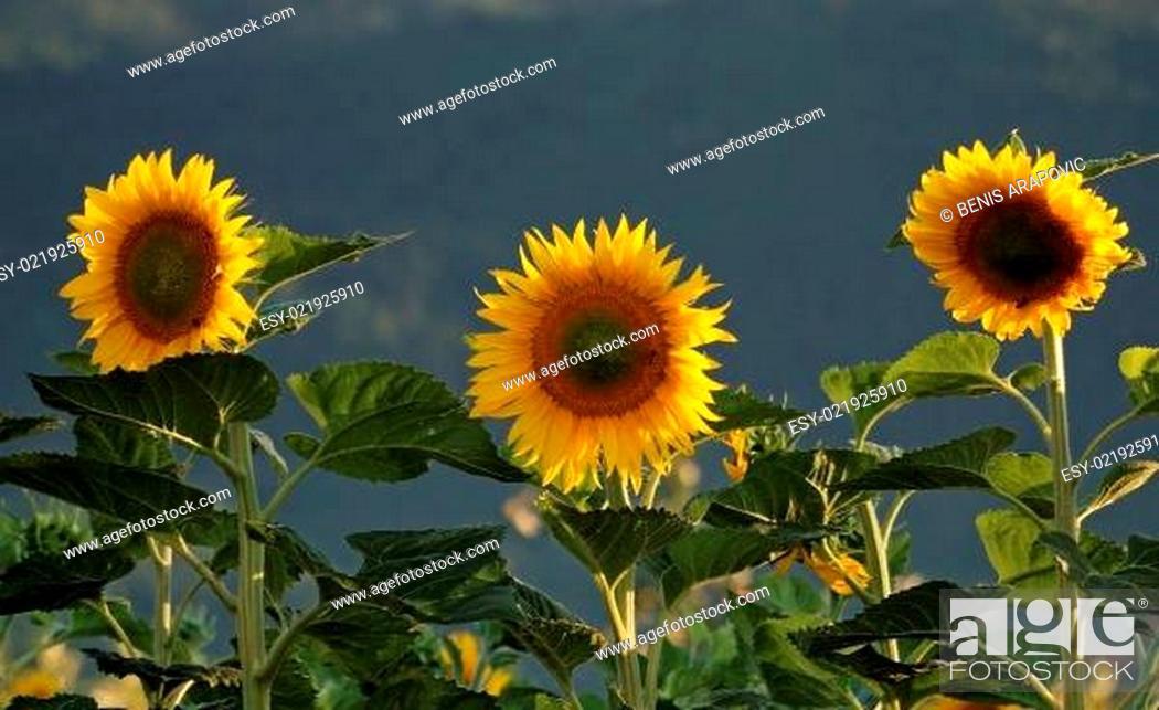 Stock Photo: sonflower.