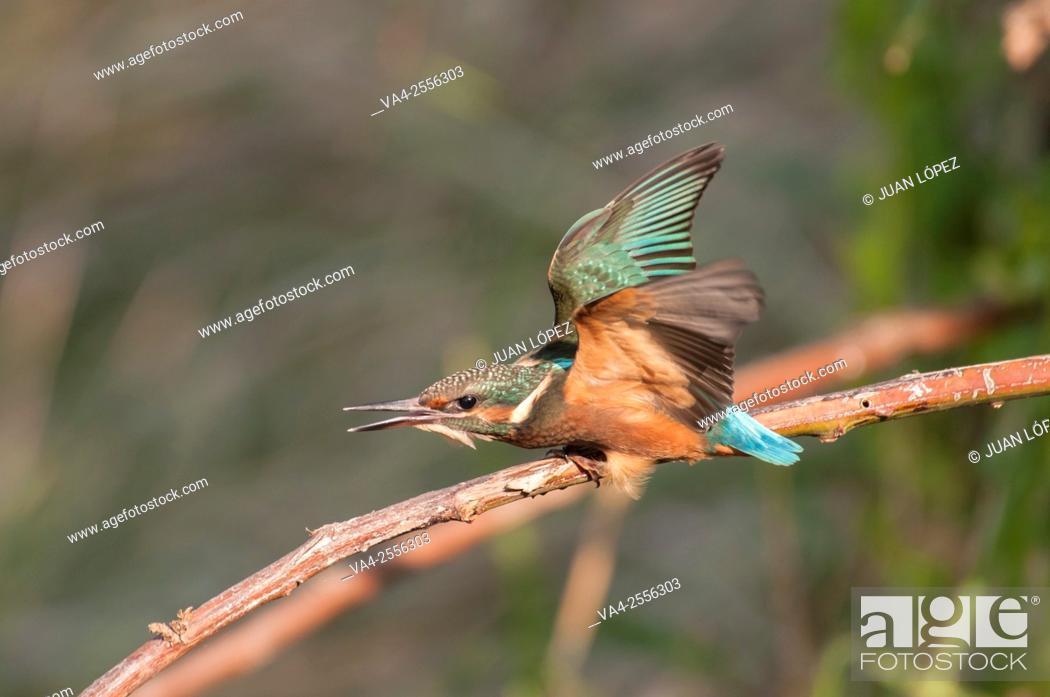 Stock Photo: Kingfisher Alcedo atthis, juvenile. Flix, Tarragona province, Catalonia, Spain.