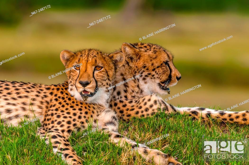 Stock Photo: Two cheetahs on a mound, near Kwara Camp, Okavango Delta, Botswana.