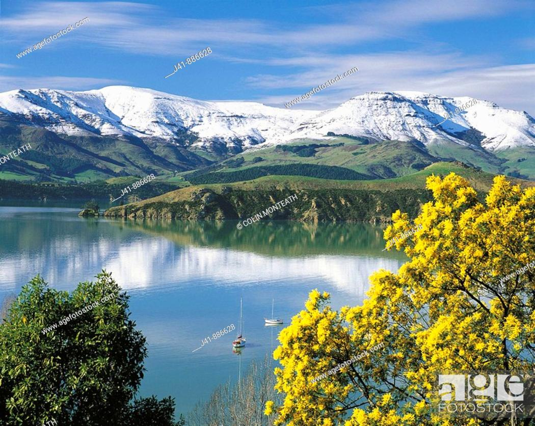Stock Photo: Wattle in bloom with snow on Banks Peninsula reflected in Lyttelton Harbour New Zealand.