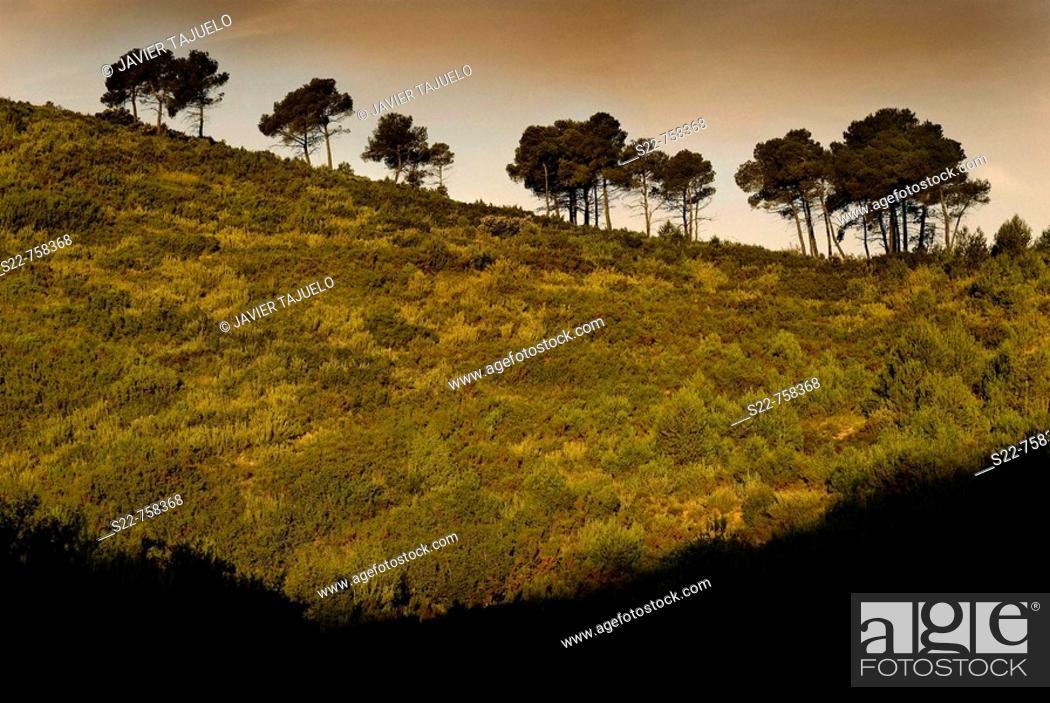 Stock Photo: Aleppo Pine (Pinus halepensis).