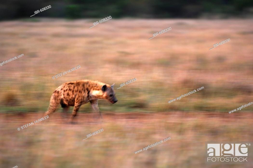 Stock Photo: Spotted Hyena (Crocuta crocuta), Masai Mara, Kenya, Africa.