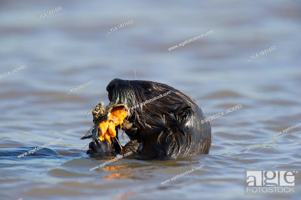 Stock Photo: Sea otter eating a mollusk in Monterey, CA.