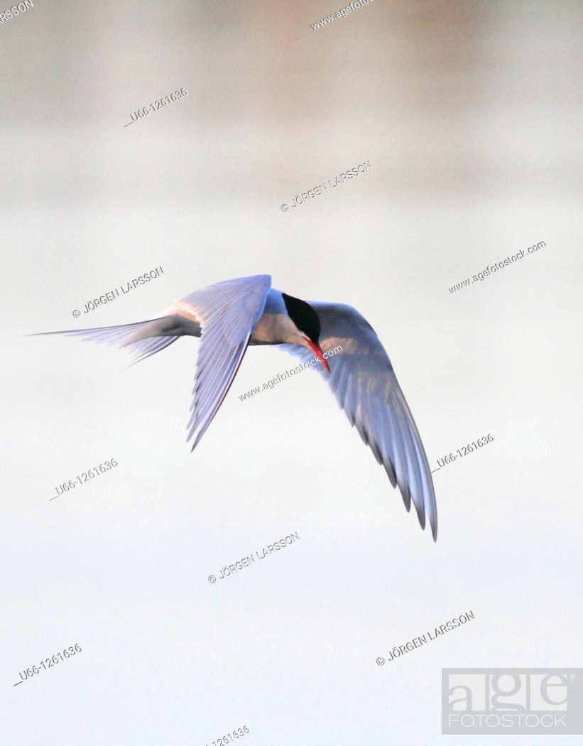 Stock Photo: Common tern Småland Sweden.