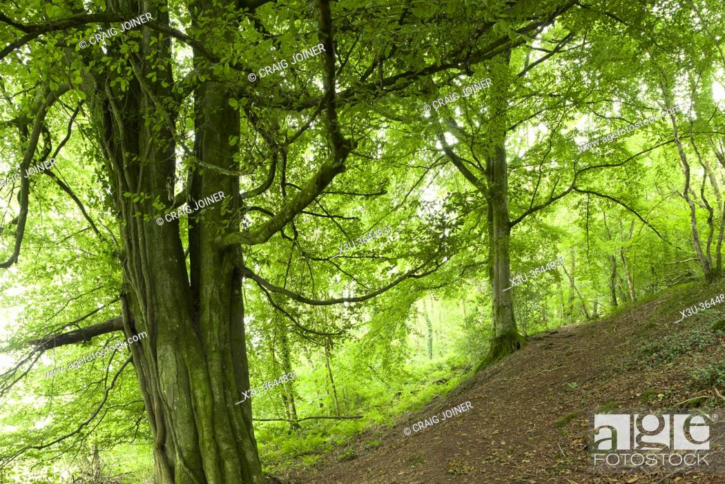 Stock Photo: A common beech tree (Fagus sylvatica) in Limekiln Wood at Harridge Wood Nature Reserve, Somerset, England.