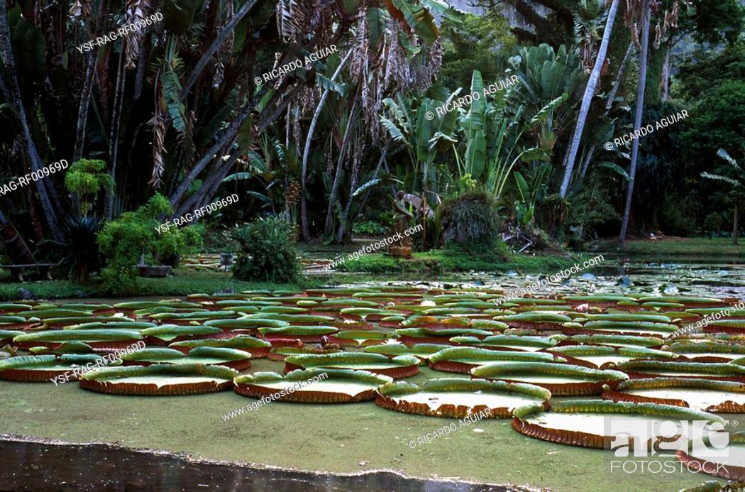 Stock Photo: Water lily, Brazil.