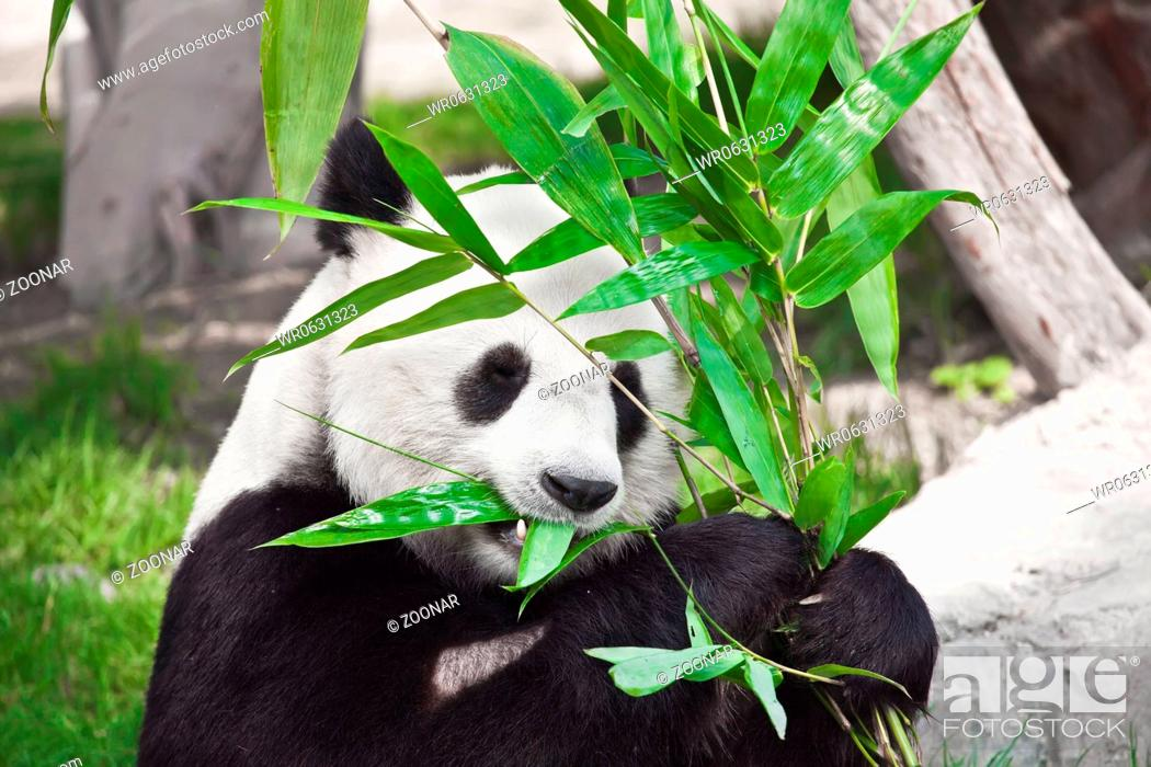 Stock Photo: Giant panda.