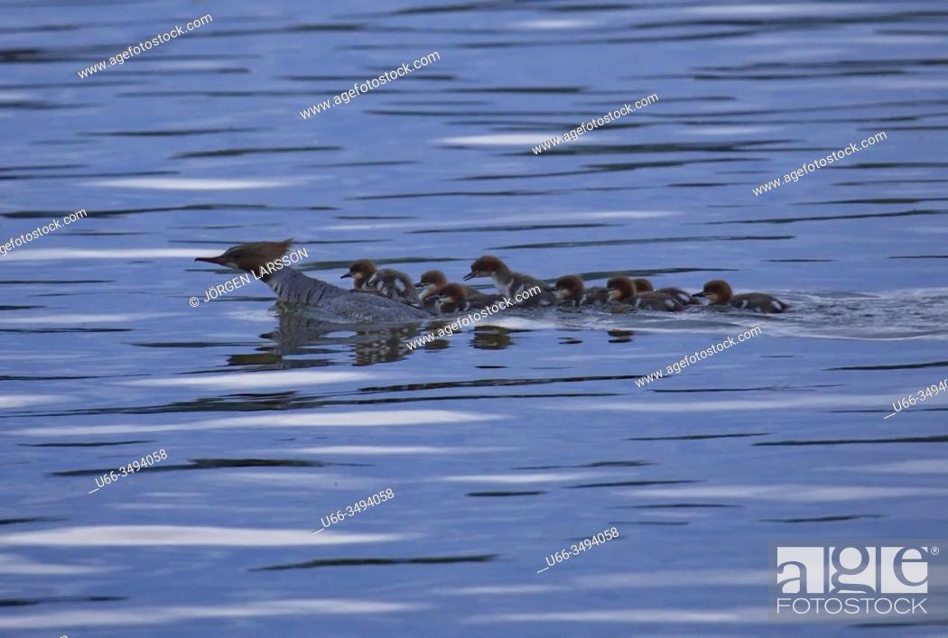 Stock Photo: Goosander (Mergus merganser) with chicks. Malaren, Sodermanland, Sweden.