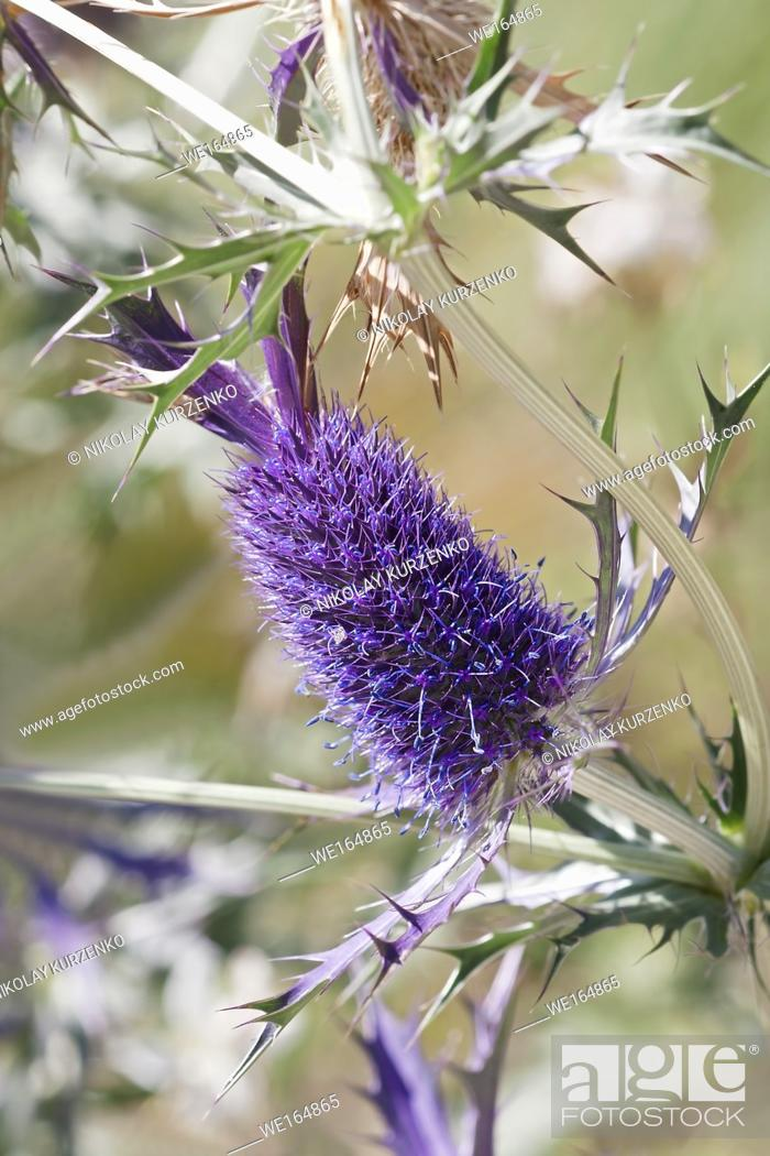 Stock Photo: Leavenworth's eryngo (Eryngium leavenworthii). Known as Sea holly and Purple button-willow also.