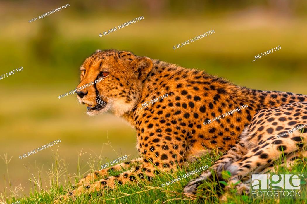 Stock Photo: Cheetah on a mound, near Kwara Camp, Okavango Delta, Botswana.