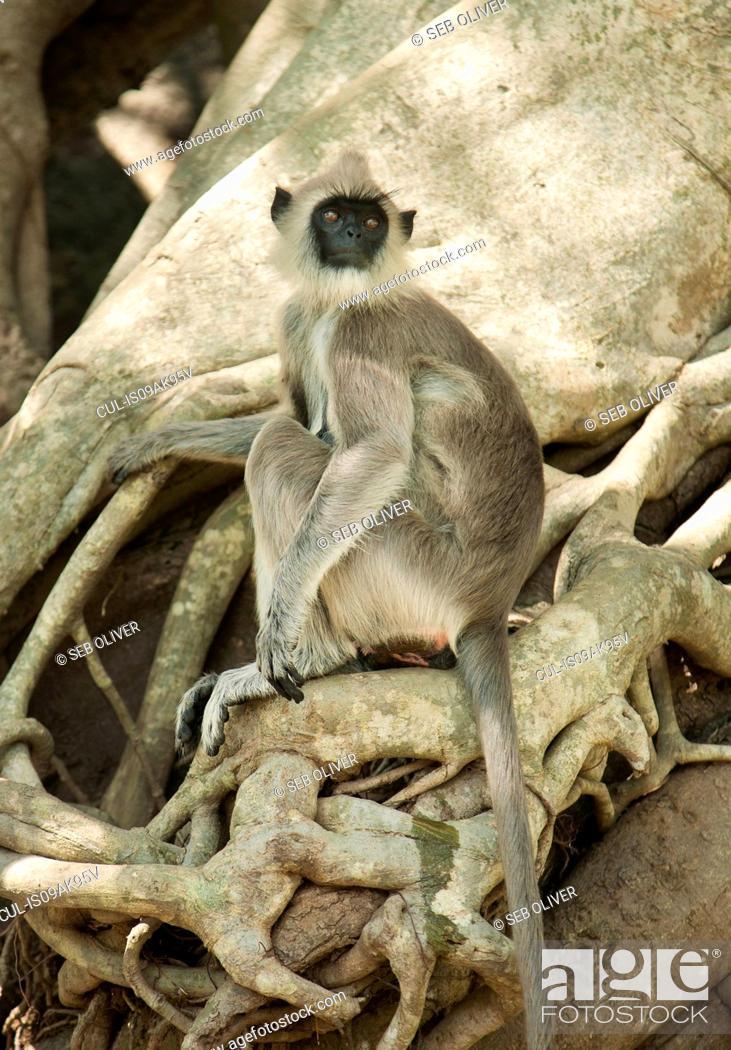 Stock Photo: Portrait of black faced grey langur monkey looking over its shoulder, Sri Lanka.