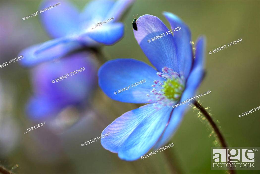 Stock Photo: Liverwort (Hepatica triloba-Anemone hepatica), spring, deciduous forest, Franconia, Germany.