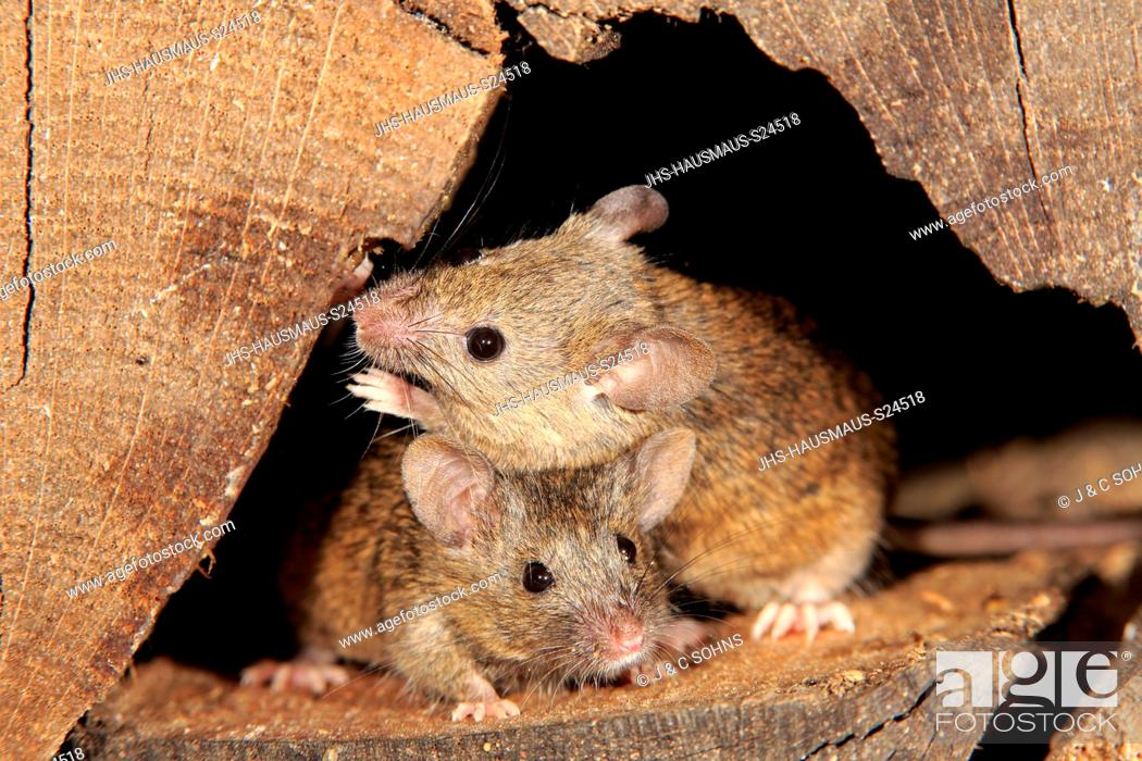 Stock Photo: House Mouse, (Mus musculus), two adults looking out of wood pile, Ellerstadt, Rhineland Palatinate, Germany, Europe.