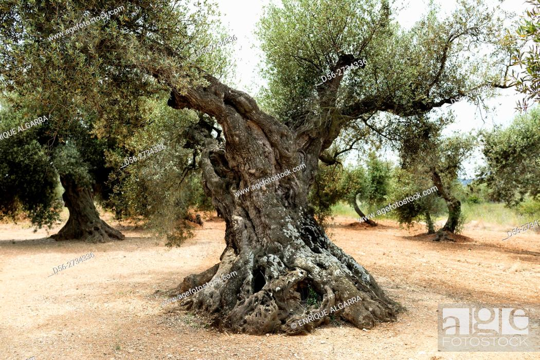 Stock Photo: Aged olive trees, Canet lo Roig, Castellón, Spain.