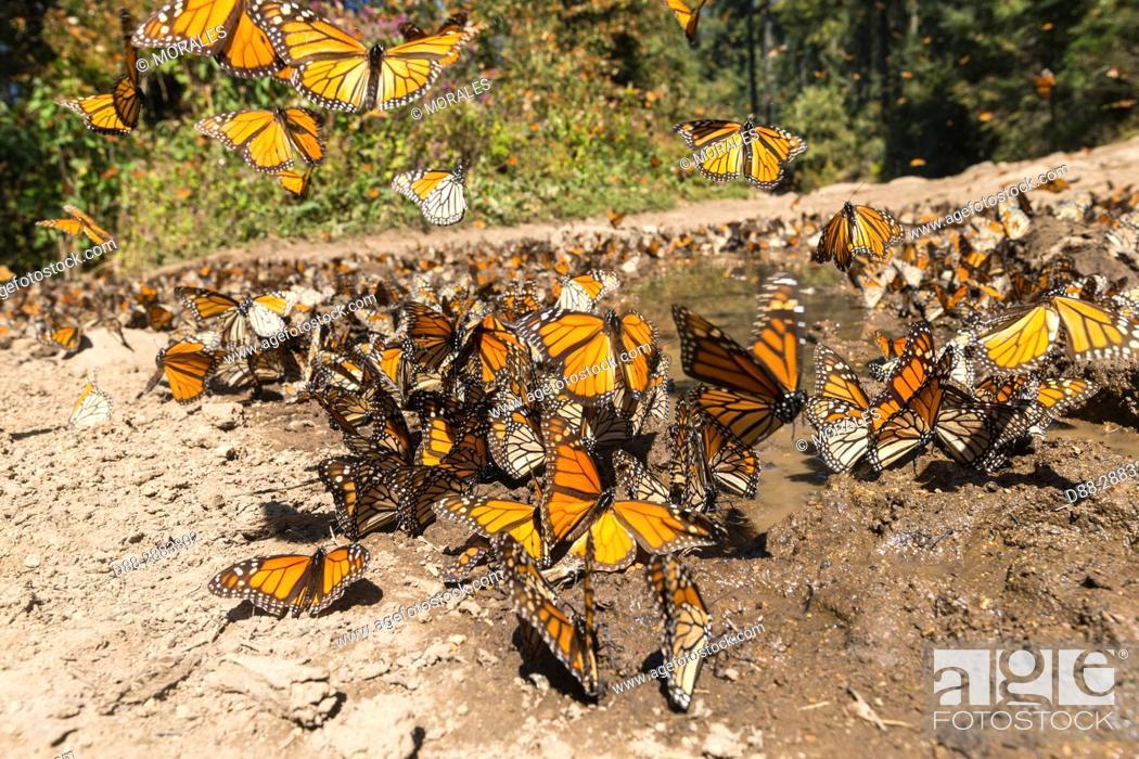 Imagen: Central America, Mexico, State of Michoacan, Angangueo, Reserve of the Biosfera Monarca El Rosario, Monarch (Danaus plexippus) butterflies gathering to drink.