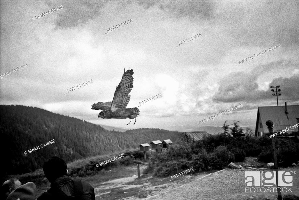 Stock Photo: An owl in flight.