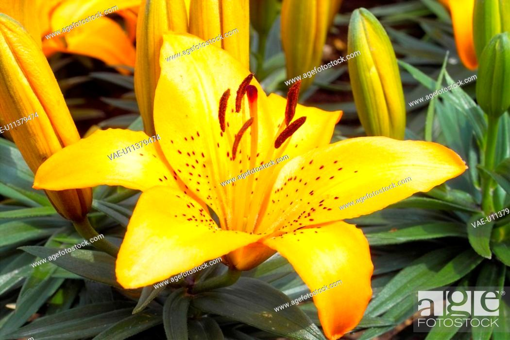 Stock Photo: plants, spring, lily, lilium, flower, flowers, plant.