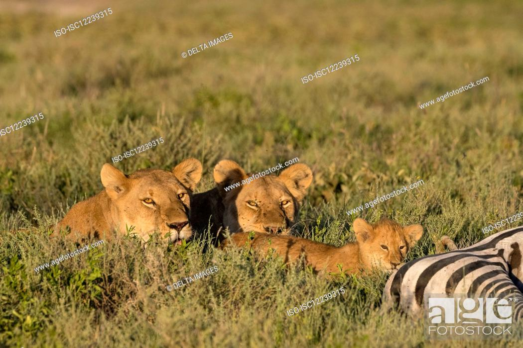 Stock Photo: Two lioness (Panthera leo) relaxing beside 5 weeks old cub on common zebra carcass (Equus quagga), Seronera, Serengeti National Park, Tanzania.