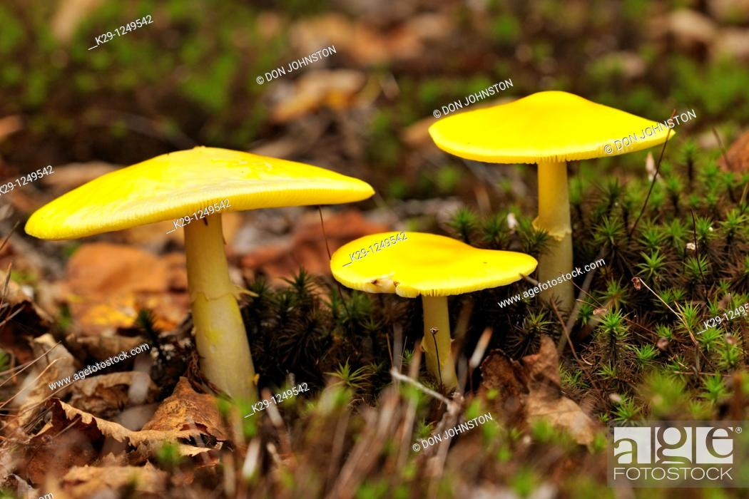 Stock Photo: Fly agaric Amanita muscaria Fruiting bodies.
