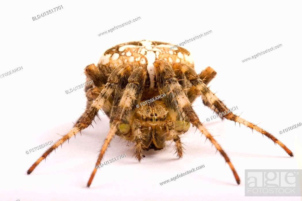 Stock Photo: freigestellt, wiesenbewohner, alfred, animal, animals, arachnid.