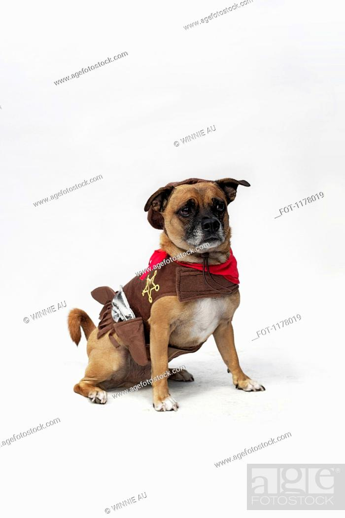 Stock Photo: A mixed Pug and Jack Russell Terrier wearing a Sheriff's costume.