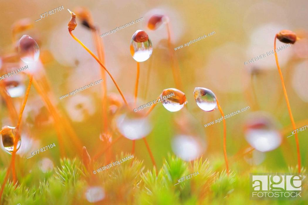 Stock Photo: Moss with dew drops. Niederhorn, Switzerland.