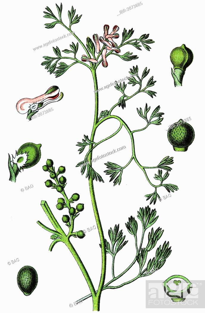 Imagen: Fineleaf fumitory, Indian fumitory (Fumaria parviflora), medicinal and useful plants, chromolithography, 1880.