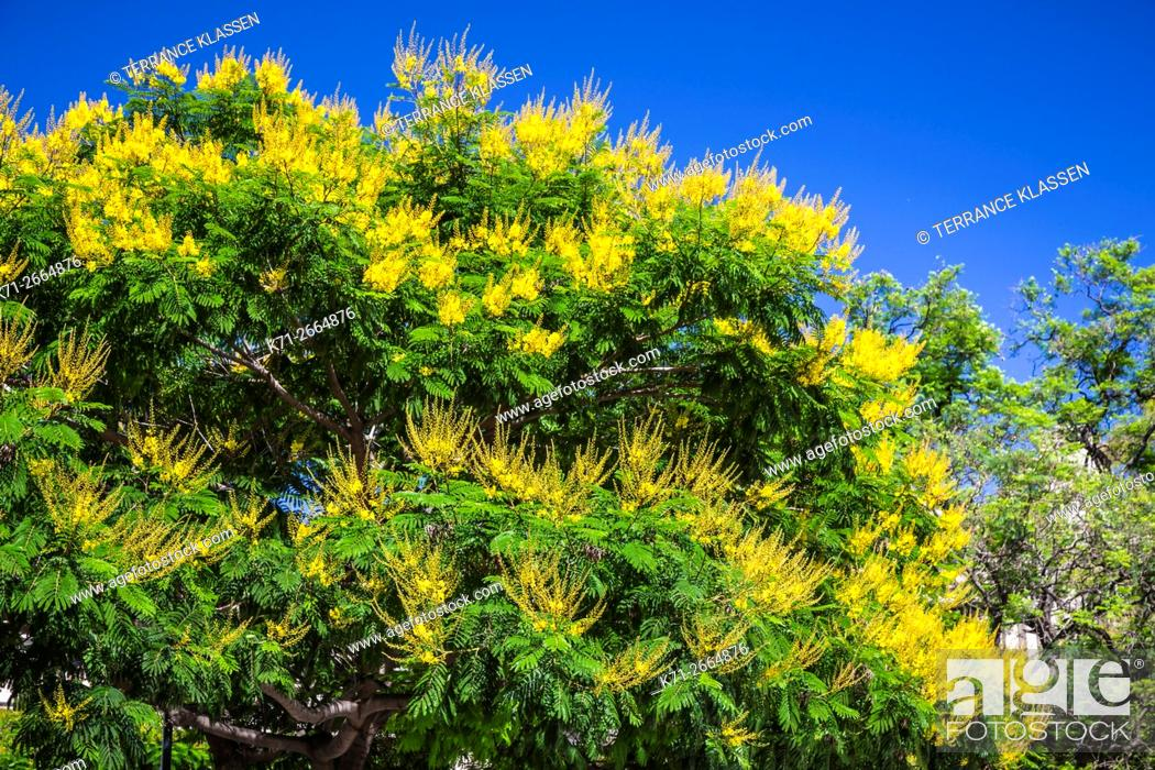 Imagen: A decorative tree with yellow flowers on Plaza Lavalle in Buenos Aires, Argentina, South America.