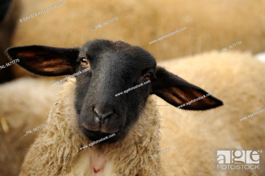 Stock Photo: Suffolk sheep, portrait.