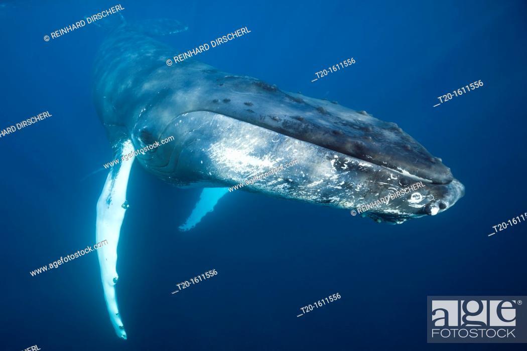 Stock Photo: Humpback Whale, Megaptera novaeangliae, Caribbean Sea, Dominica.
