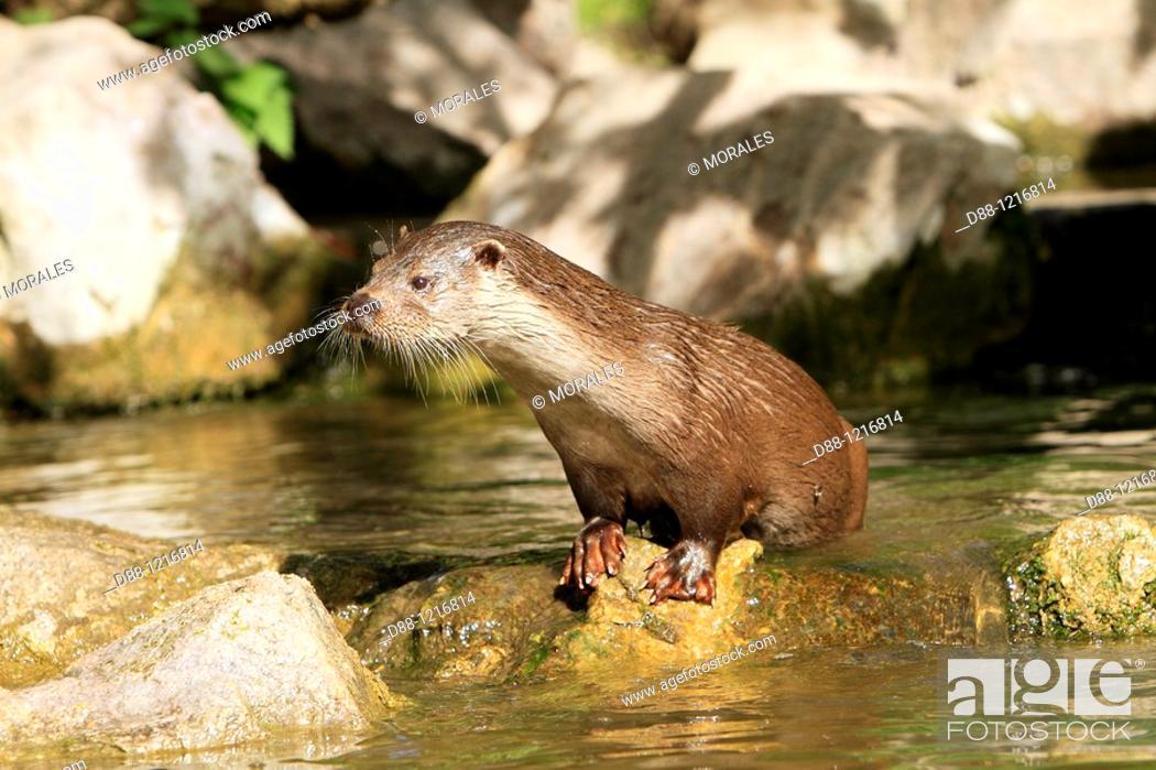 Stock Photo: European Otter Lutra lutra order:carnivora family : mustelidae.
