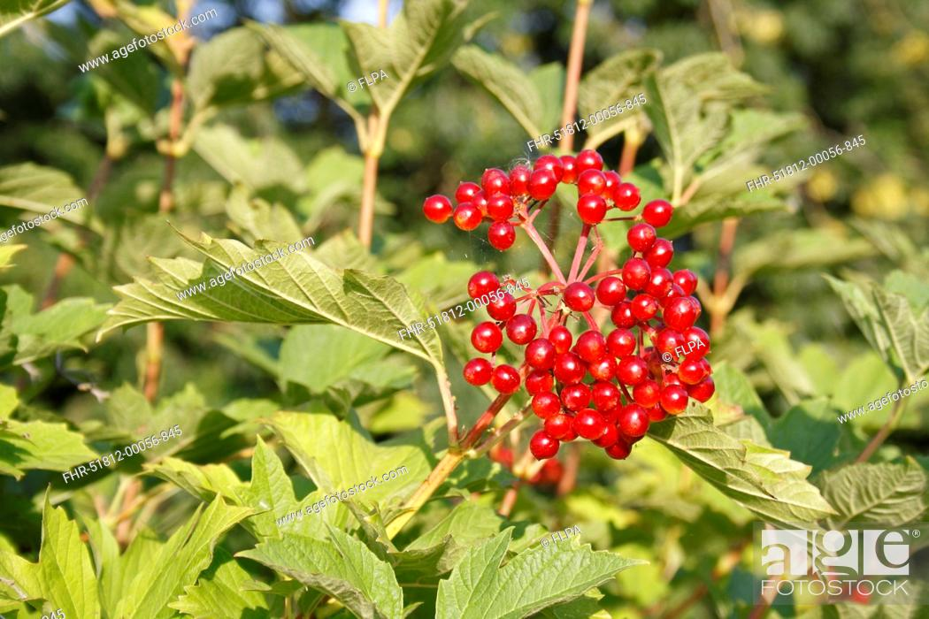 Guelder Rose (Viburnum opalus) close-up of berries and