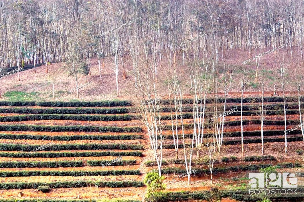 Stock Photo: China, Yunnan, between Menghai and Lancang, tea and hevea plantation.