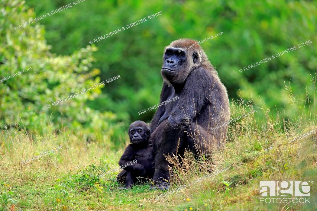 Stock Photo: Western Lowland Gorilla (Gorilla gorilla gorilla) adult female with young, sitting on grass (captive).