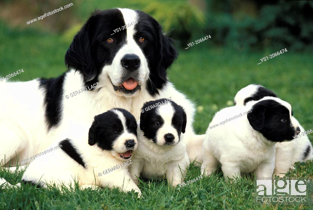 Stock Photo: Landseer Dog, Mother with Pup.