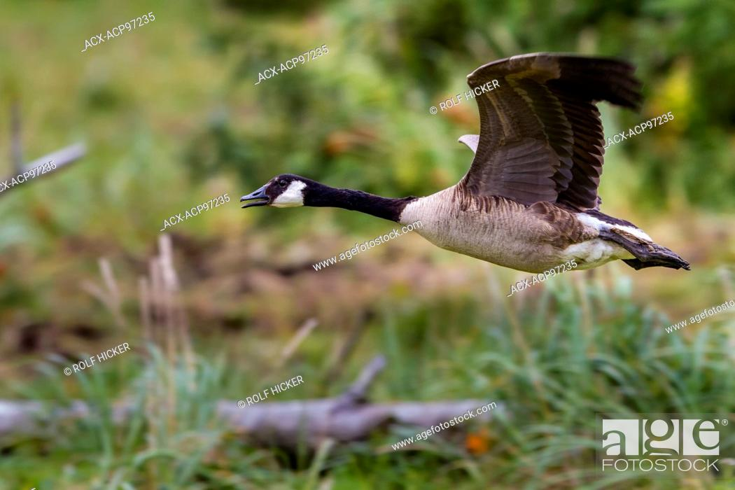 Stock Photo: Giant Canada goose (Branta canadensis maxima) in flight, Knight Inlet, British Columbia, Canada.