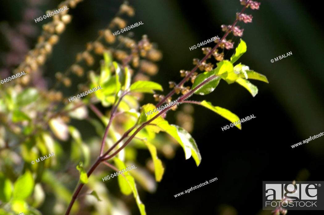 Stock Photo: THULASI PLANT.