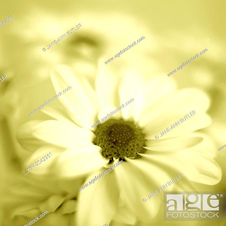 Stock Photo: feminine chrysanthemum in duotone.